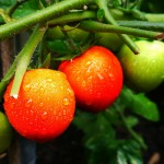 market-garden-tomato
